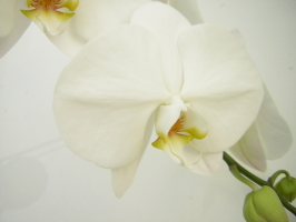 胡蝶蘭の花