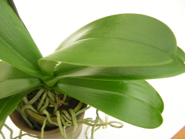 胡蝶蘭の葉
